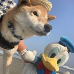 老犬ホーム九十九里パークに…青森から柴犬の男の子のヤマトくんが入園しました。編