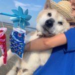 老犬ホーム九十九里パークに…埼玉から柴犬の男の子の「大吉くん」(14歳)が入園しました。編