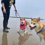 老犬ホーム九十九里パークに…神奈川から柴犬の男の子の「孝太くん」(16歳)が入園しました。編