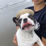 老犬ホーム九十九里パークに…東京からフレンチ・ブルドッグの男の子の「チョルスくん」(10歳)が入園しました。編