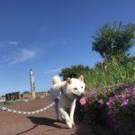 老犬ホーム九十九里パークに…福島から白柴の男の子の「サスケくん」(7歳)が入園しました。編