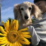 老犬ホーム九十九里パークに…東京からダックスフンドの女の子の「ひまわりちゃん」(16歳)が入園しました。編