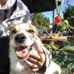 老犬ホーム九十九里パークに…東京からコーギーの女の子の「チャコちゃん」(11歳)が入園しました。編