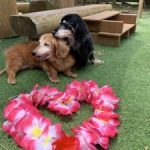 老犬ホーム九十九里パークに…千葉からダックスフンドの女の子の「ナナコちゃん」(20歳)が入園しました。編