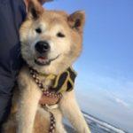 老犬ホーム九十九里パークに…千葉から柴犬の男の子「百太郎くん」(15歳)が入園しました。編