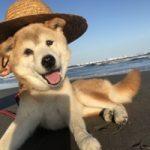 老犬ホーム九十九里パークに…東京から柴犬の女の子「いちちゃん」(15歳)が入園しました。編