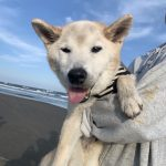 老犬ホーム九十九里パークに…東京から柴犬の男の子の「コタロウくん」(15歳)が入園しました。編