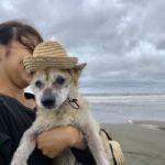 老犬ホーム九十九里パークに…埼玉から豆柴の男の子「小太郎くん」(18歳)が入園しました。編
