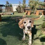 老犬ホーム九十九里パークに…千葉からビーグル犬の男の子の「ビーくん」(12歳)が入園しました。編