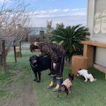 老犬ホーム九十九里パークに…千葉からラブラドール・レトリバーの男の子の「ラリーくん」(11歳)が入園しました。編
