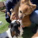 ポメラニアン×チワワのMIX犬の「ココちゃん」(19歳)が入園しました。編